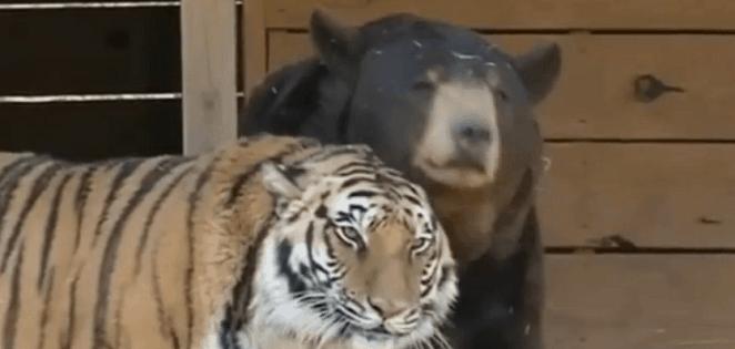 amitié entre ours et tigre vidéo