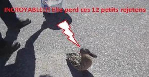 sauvetage canard vidéo mignon