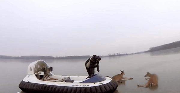 chevreuils sauvés sur la glace