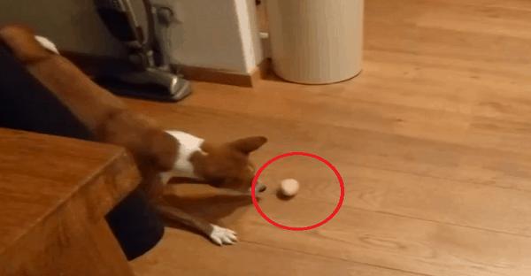 un chien qui joue avec un oeuf