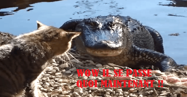 Crocodile contre chat combat inégal