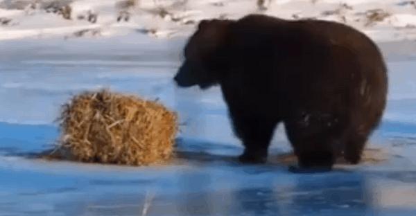 ours qui joue avec une balle de foin
