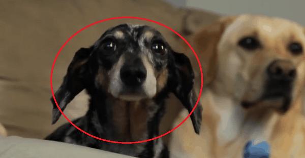 chien avec pattes arrière paralysé