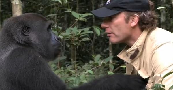 Après 5 ans de séparation, cet homme retrouve un gorille. Des images ÉMOUVANTES!