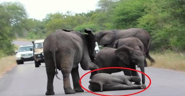 Un éléphanteau est tombé en pleine rue. Voyez l'aide qu'il reçoit de sa famille. DES IMAGES TOUCHANTES ET INCROYABLES!