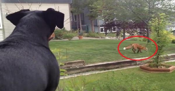 Ce chien observe un renard qui joue avec ses jouets. TROP DRÔLE COMME SCÈNE LOL!