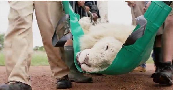 Ce que font ces hommes pour ce magnifique lion blanc est REMARQUABLE. Des images ÉMOUVANTES!