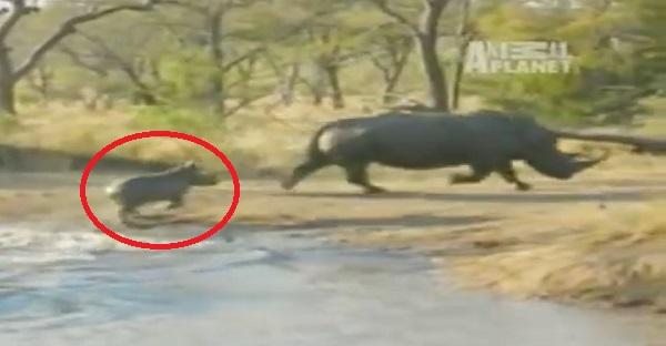 Ce bébé rhinocéros n'a pas froid aux yeux, voyez ce qu'il fait. INCROYABLE!