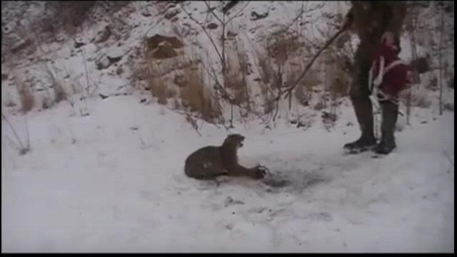 Un pauvre lynx est pris au piège, voyez comment cet homme se prend pour le sauver.