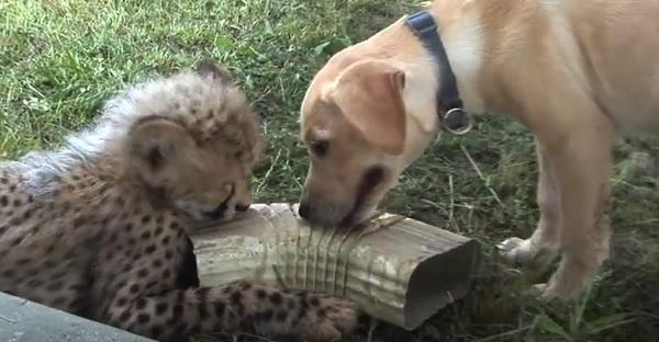 L'amitié entre un chien et un guépard. Vraiment TROP CUTE!