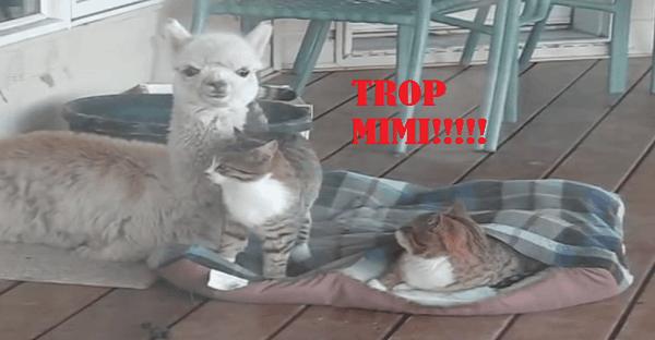amitié entre un alpaga et deux chats