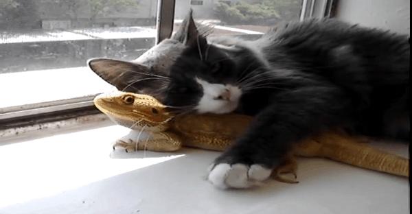 amitié et amour entre un chat et lézard