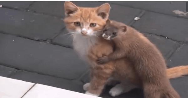 amour entre chat et belette vidéo