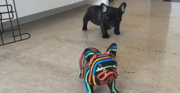 bébé bulldog vidéo drôle