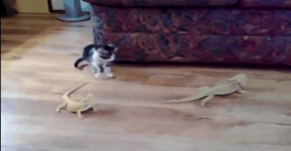 bagarre entre chat et lézard vidéo drôle