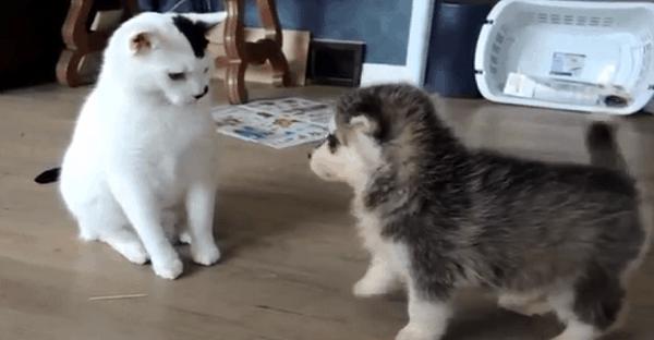 chat qui rencontre deux chiots vidéo