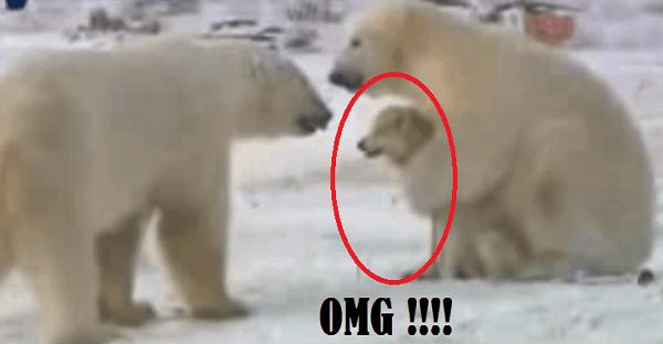chien husky entre 2 ours polaires
