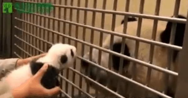 bébé panda rencontre sa maman dans un zoo