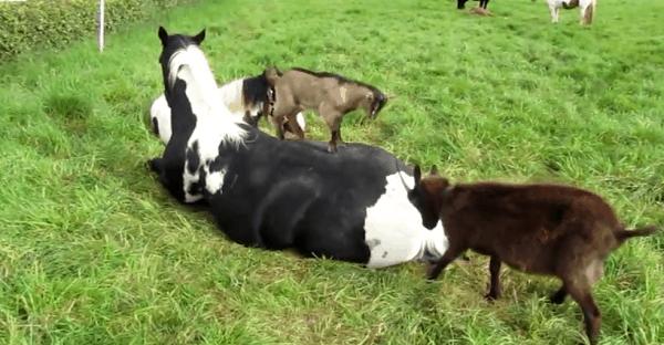 chèvre gratte le dos au cheval