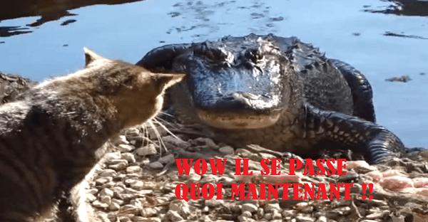 Crocodile contre chat combat inégal