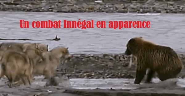 Un Grizzly contre 4 loups affamés