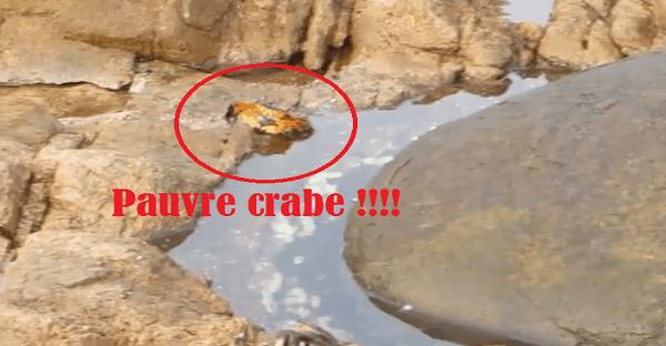 pieuvre qui mange un crabe