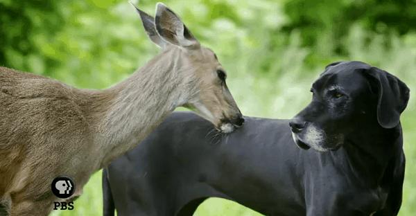 amité entre un faon et un chien