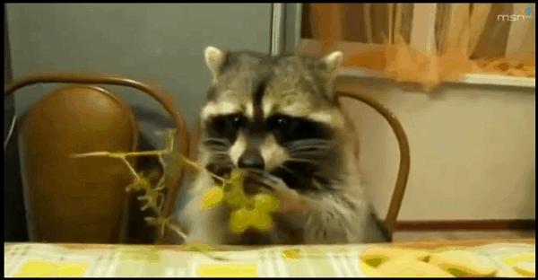 raton laveur qui mange des fruits