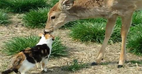 amour entre chat et chevreuil