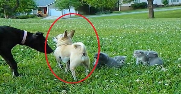 Ce que ce Chihuahua fait pour ces chatons est INCROYABLE. À VOIR!