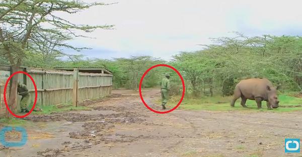 Ce rhinocéros obtient une protection serrée de ces gardes. La CAUSE est trop TRISTE!