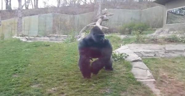 Voilà une chose à ne pas faire devant un gorille en cage. Tout simplement TERRIFIANT!