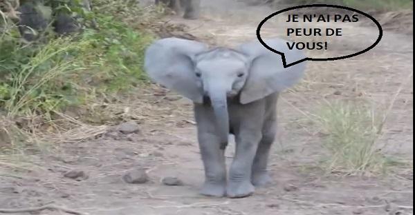 Un petit éléphant qui n'a pas froid aux yeux. MAISSS, LOL TROP MIGNON!