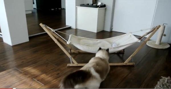 Il achète un hamac à son chat. Le pauvre a du mal à s'en servir. TROP DRÔLE, DES IMAGES HILARANTES!