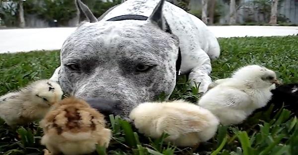 chien-îtbull-vidéo-poussin-animaux