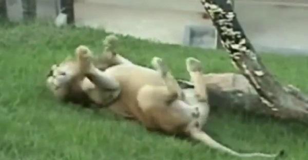 Ce lion De Cirque touche l'herbe pour la première fois de sa vie. MAGNIFIQUE ET TRISTE À LA FOIS!