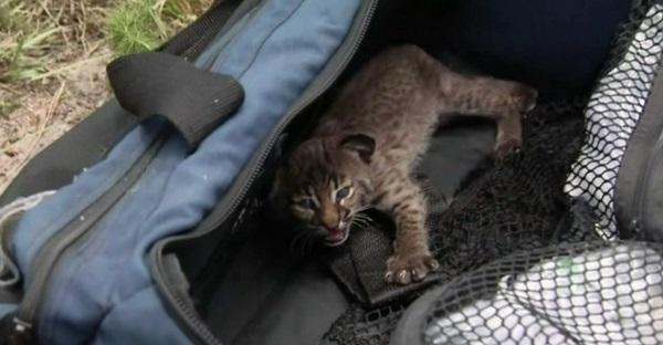 Un bébé lynx sauvé des flammes en Floride. UN GESTE DE BRAVOURE!