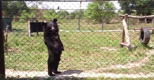 Cet ours debout est trop Mignon. Mais son histoire cache une vérité des plus HORRIBLES!