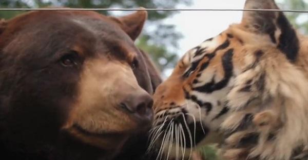 Un lion, un tigre et un ours dans la même cage. BONNE IDÉE? Constatez par vous même!