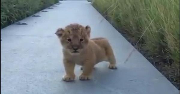 Je suis le roi de la jungle, vous m'entendez rugir? LOL.