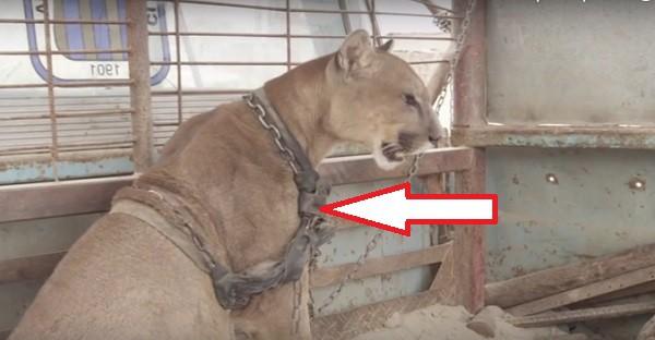 Ce puma goutte à la nature après avoir été enchaîné pendant 20 ans. MAGNIFIQUE ET TRISTE À LA FOIS!